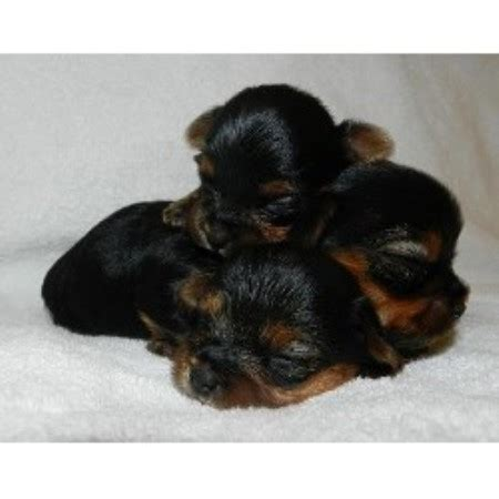 new york yorkie breeders let s talk yorkie terrier breeder in bellmore new york listing id 16344