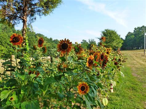 sunflower patch heirloom vegetable flower garden seeds pollinator