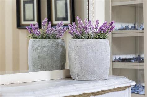 growing lavender indoors hgtv