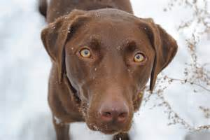 Baby chocolate labs this is my chocolate lab