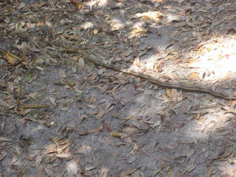 Garden Snake Island Snake On Cumberland Island Flickr Photo