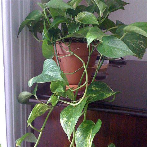 Délicieux Plantes Grimpantes D Interieur #2: Pothos-plante-grimpante-carre