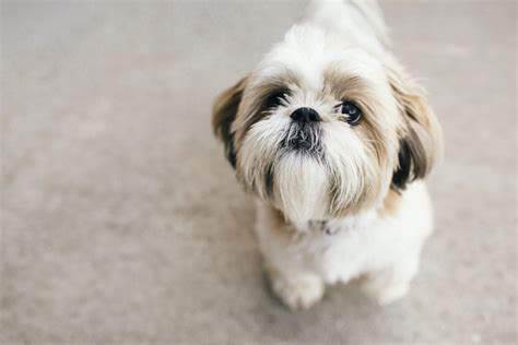 shih tzu photography happy tails daily tagdaily tag