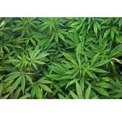 Marijuana Wallpaper 3 14306 High Quality And Resolution