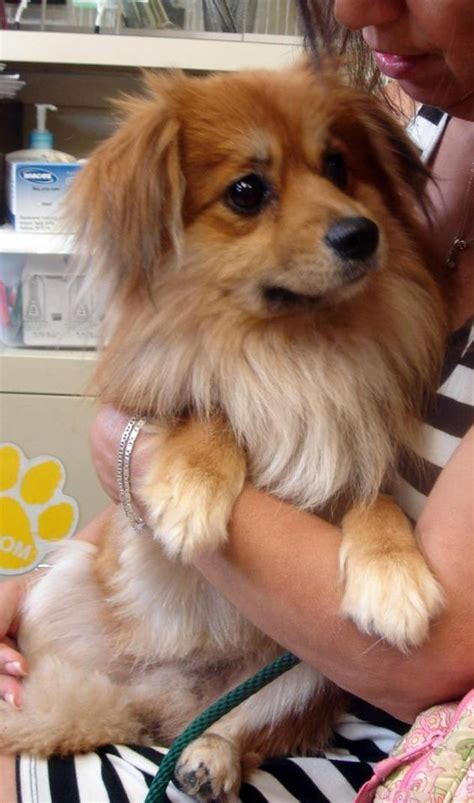 king charles spaniel and pomeranian cavalier king charles spaniel pomeranian mix