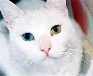 cat eye colors whites of the eye turn pupils clear changing