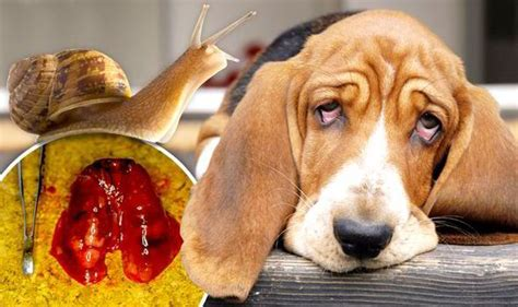 killer dogs killer parasite on the rise owners warned lungworm is attacking pets in the uk