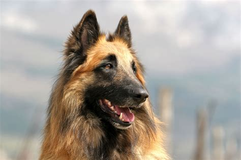 belgian breeds belgian shepherd breed information pet365