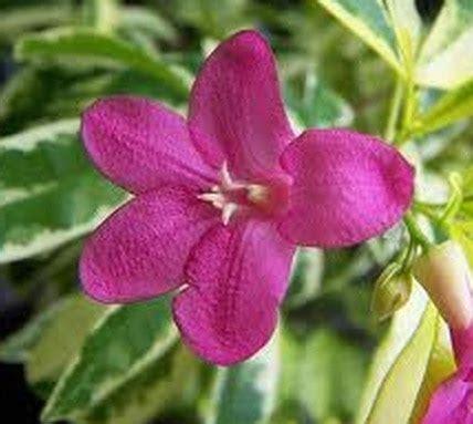 Tanaman Pink jual tanaman pink ravenia bibit