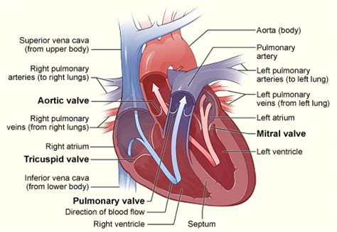 heart cross section diagram pediatric cardiothoracic surgery heart valve disease