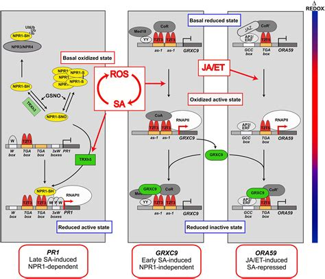 frontiers transcriptional regulation of mononuclear frontiers salicylic acid and reactive oxygen species