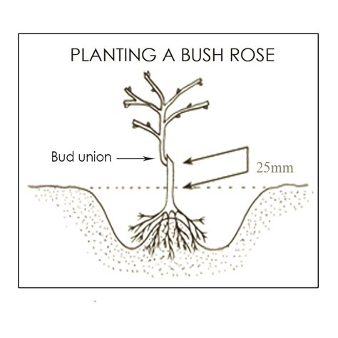 planting guide bare root roses