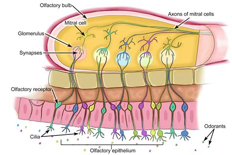 olfactory pathway diagram the olfactory system is the sensory system used to smell