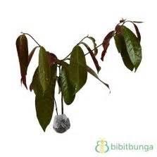 Tanaman Obat Herbal Pletekan tanaman daun syaraf bibitbunga