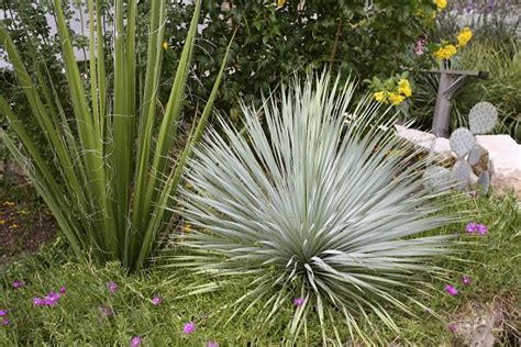 Tropical Yucca Plant 14 cold hardy tropical plants to create a tropical garden