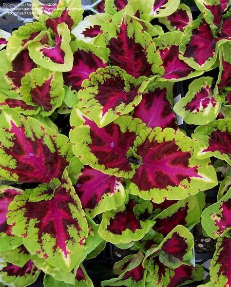 Coleus Planters by Shade Plants Kong Coleus If Only I Had A Green