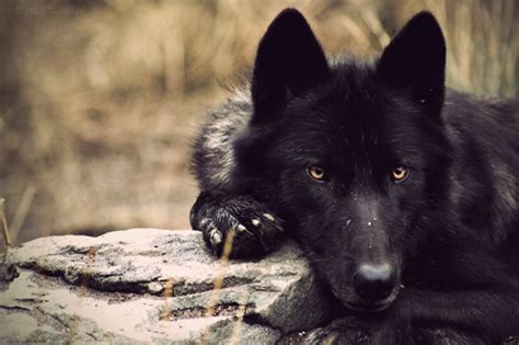 black tumblr black wolves tumblr