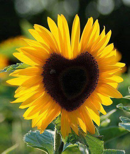 Bagian Dalam Flower Hitam wallpaper foto dan gambar bunga cantik untuk laptop sunflowers flowers and gardens