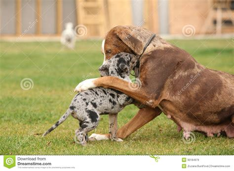 free puppies in louisiana louisiana catahoula in autumn royalty free stock photos image breeds picture