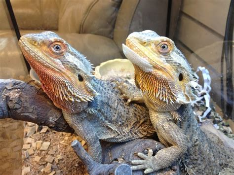 Do Bearded Dragons Shed by Our Bearded Dragons Shedding Their Skin Our Team