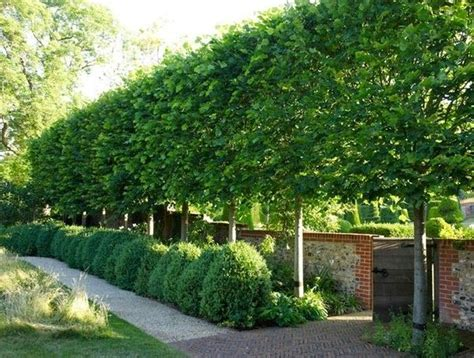 pleached hornbeam trees pleaching is the weaving branches of multiple trees together for