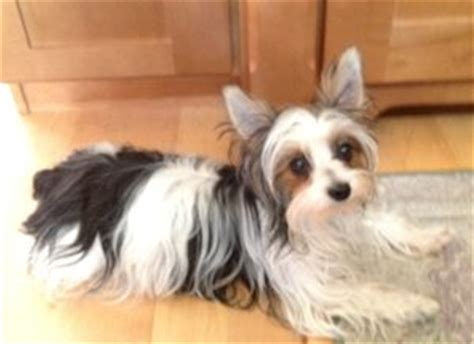 white and brown yorkie parti yorkies yorkie puppies for sale it s parti time for yorkies
