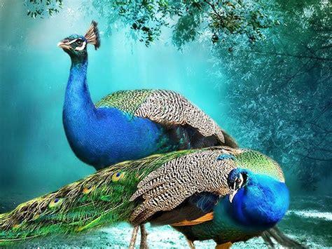 hd wallpapers for desktop beautiful peacock wallpapers hd beautiful background peacock pair hd wallpaper beautiful