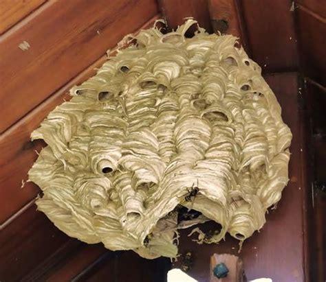 hornissennest im haus hornissen und wespen bund naturschutz in bayern e v