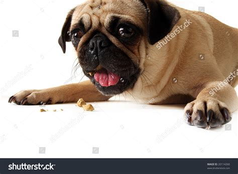 what do pug puppies eat pug a cookie and isolated on white stock photo 20114260