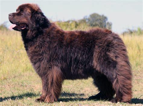 Newfoundland Dog - All Big Dog Breeds