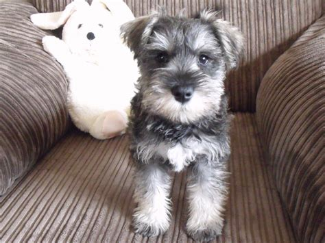 salt and pepper schnauzer puppies for sale mini schnauzer kc reg pups 1 salt pepper mablethorpe lincolnshire pets4homes