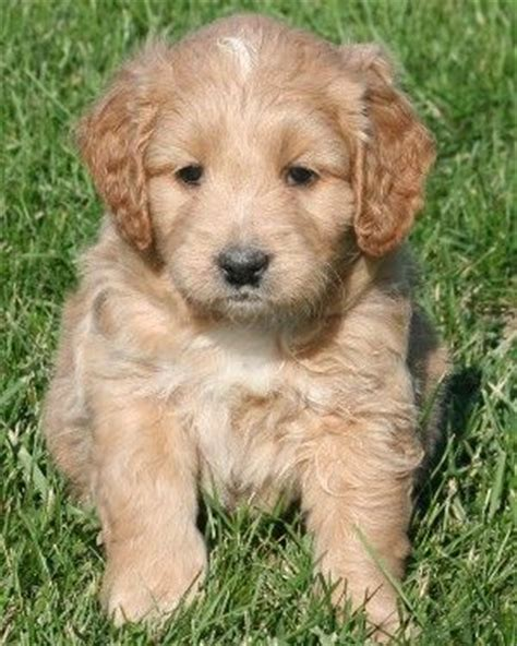 f1b more golden retriever 266 best images about dogs on chocolate lab puppies arctic wolf and