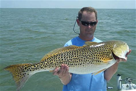 red drum or redfish, mississippi saltwater fish