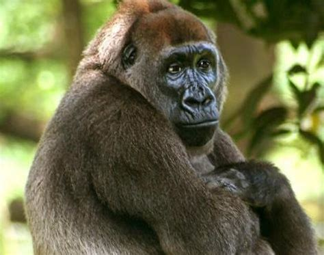 Picture 1 of 2 - Cross River Gorilla (Gorilla Gorilla ...