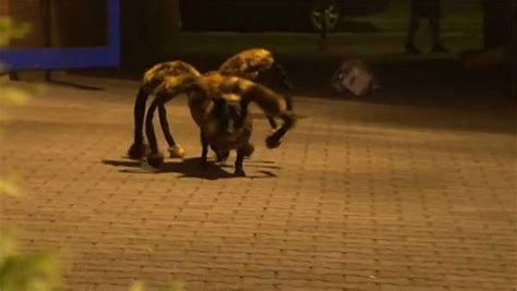 spider puppy spider hilarious sensation or prank 6abc