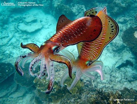 Cuttlefish mating. | All things to do with water | Pinterest