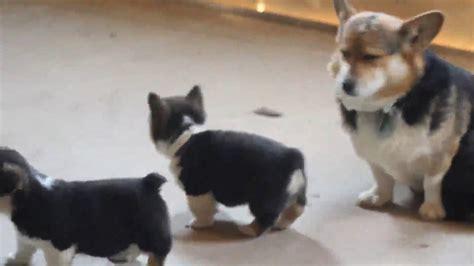 pembroke corgi puppies for sale in pembroke corgi puppies for sale
