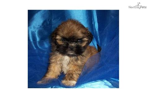 affenpinscher puppies for sale affenpinscher puppies in affenpinscher images frompo