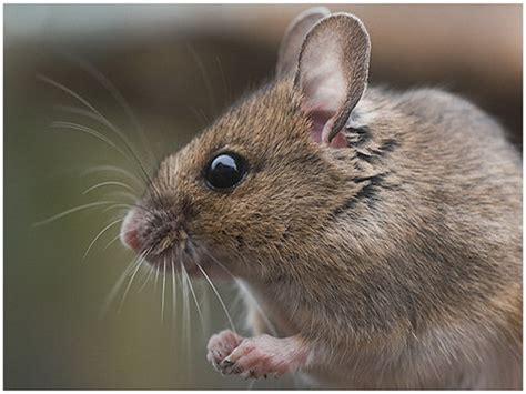 huis muis soorten muizen muis4life