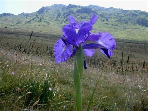 fiori bulbosi iris bulbosi bulbi coltivare gli iris da bulbo