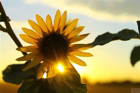 Day 270  ?Sunny Flower?   myownphotoproject
