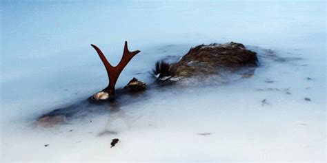 moose found frozen in lake by ice skater photo huffpost