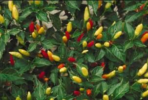 Tabasco pepper wikipedia