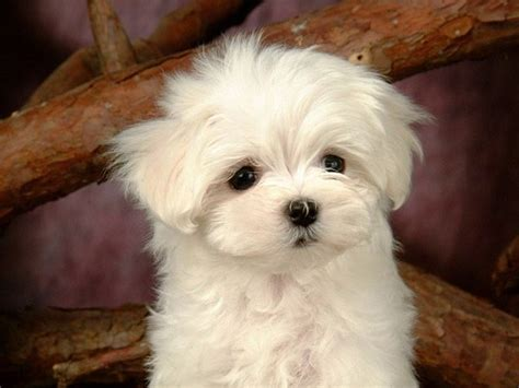 fluffy puppies breeds white fluffy breeds