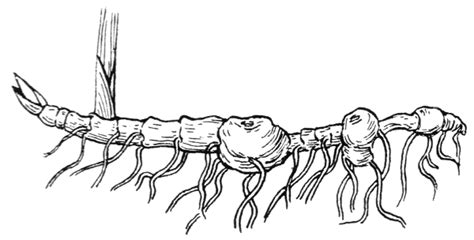Diagram Of Rhizome Of