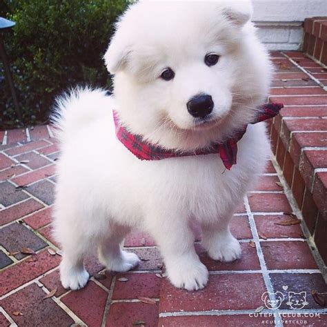 buy samoyed puppy best 25 samoyed ideas on samoyed dogs samoyed and samoyed puppies