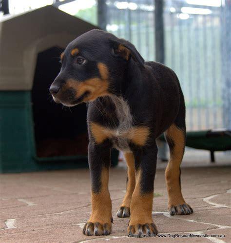 kelpie x rottweiler puppies for sale labrador x kelpie information dogs in our photo
