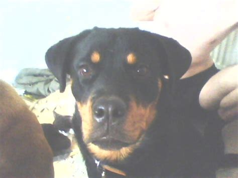 which is more dangerous rottweiler or pitbull pitbull or rottweiler which is more dangerous pets 3 nigeria