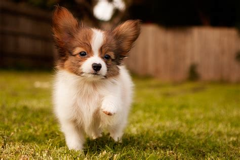 smart dogs top 10 world s smartest breeds