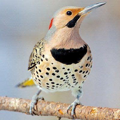pictures of state birds complete photo gallery alabama